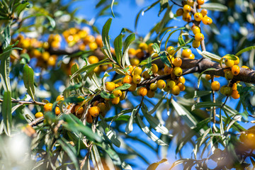 Yellow sea buckthorn