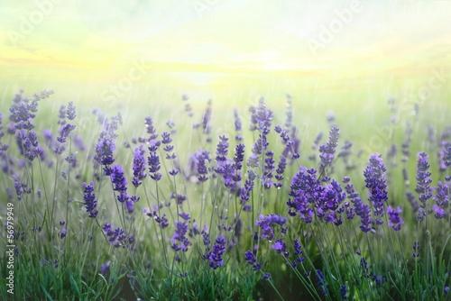 canvas print picture lavendelfeld