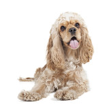 Dog breed cocker spaniel