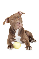 dog breed pit bull with an apple on a white background in studio