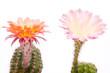 Zwei mehrfarbige Kaktusblüten