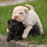 Two sharpei puppies lying together