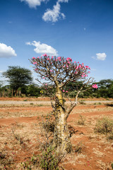 Desert rose, pretty and rare plant, Ethiopia, Africa