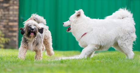 tibetian terrier and samoyed playing in yard