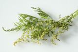 einjaehriger beifuss, Artemisia, annua,