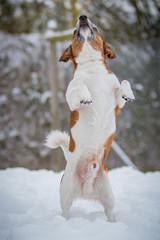 Terriermischling schnappt nach Schnee