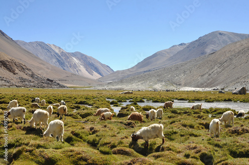 Sheep surrounding with mountain in Ladakh, India