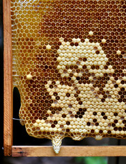 honeycomb with developing queen bee larvae