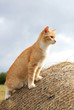Warrantable, ginger cat hunts mice in the hay