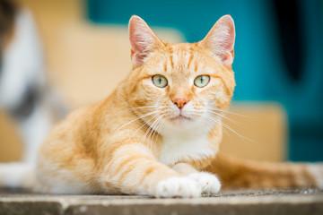Rotgetigerte Katze