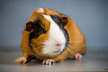 Glatthaarmeerschweinchen