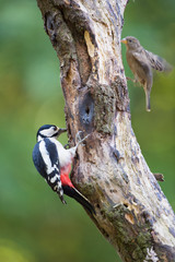 Female Great Spotted Woodpecker and sparrow