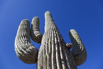 Giant Large saguaro cactus