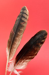 Two eagle feathers against a red background.