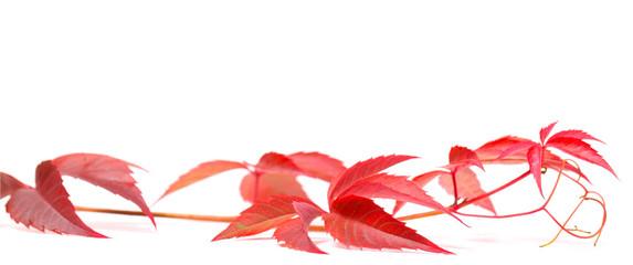 Herbstliche Jungfernrebe auf weiß