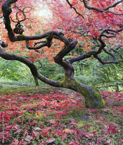 Old Japanese Red Laced Maple Tree in Fall Season