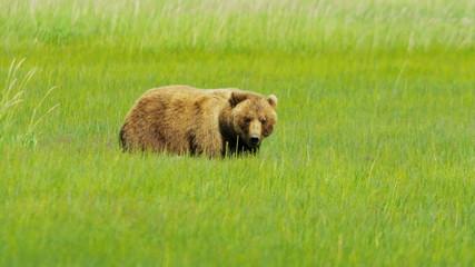 Female Bear Ursus arctos with young cubs feeding on vegetation Alaska, USA