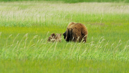 Brown Bear cubs close to  feeding female Alaska, USA