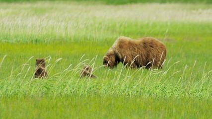 Brown Bear cubs relaxing close to their mother Alaska, USA