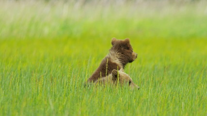 Young Brown Bear cubs on Wilderness grasslands, Alaska, USA