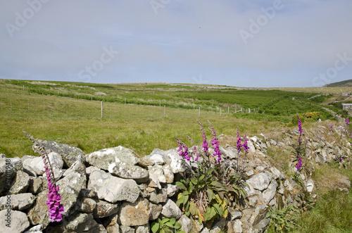 digitale pourprée,Ile de Ramsey, Pays de Galles