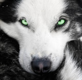 husky dog with green eyes