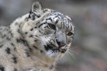 Snow leopard, Uncia uncia,