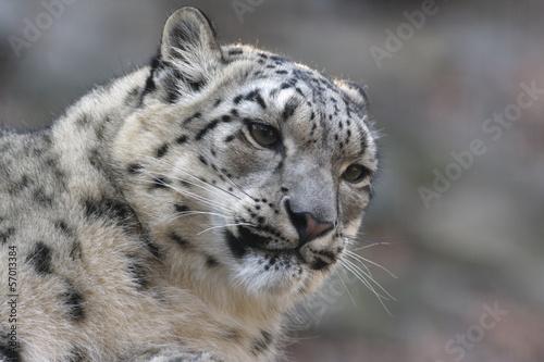 Fototapeten,snow leopard,leopard discus,katze,säugetier