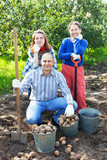 family harvesting potatoes in  garden