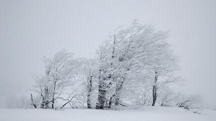 Falling snow. Winter trees