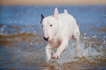 english bull terrier dog running in the water