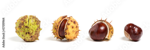 Four chestnuts in different phase of opening, white background