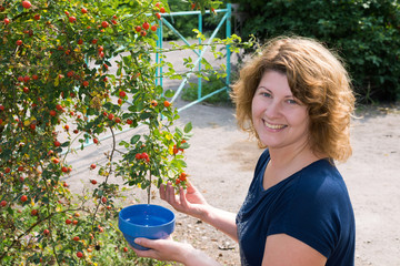woman harvests of wild rose in the garden