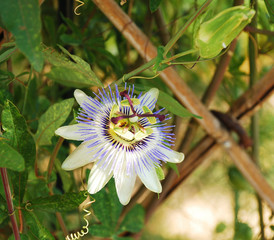 Passiflora Bluecrown