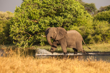African Elephant  crosses the river in Botswana