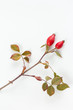 Rosehip (Rosa canina)