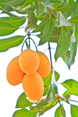 Maprang Marian Plum and  Plum Mango of Thailand