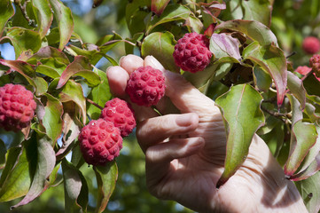Harvesting fruits of the Kousa Dogwood Tree