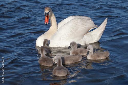 Papiers peints Cygne Swan family.