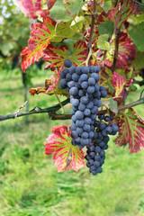 Weintraube, dunkel, Rotwein