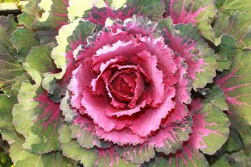 chou, pink gabbage, ornament gabbage, flower