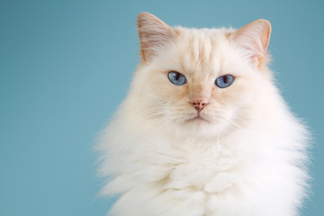 Ragdoll portrait with blue background