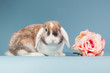 Mini-lop rabbit with rose
