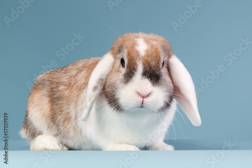 White eared mini-lop rabbit in the studio