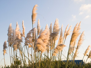 Pampas grass, Cortaderia selloana outdoors
