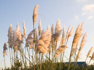 Pampas grass, Cortaderia selloana outdoors