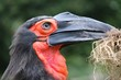 Ground hornbill, Calao terrestre