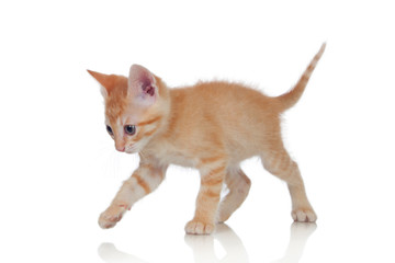 Adorable brown kitten