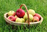 basket of fresh ripe apples in garden on green grass