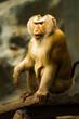 Monkey in chiangmai zoo chiangmai Thailand